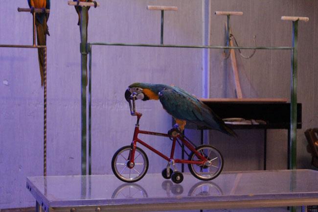 papagal_pe_bicicleta_circ