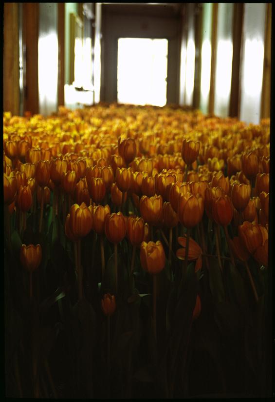 BLOOM-by-Anna-Schuleit-orange-Tulips