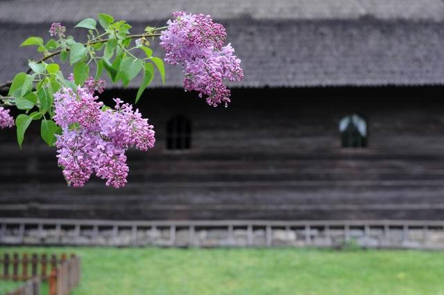 liliac - muzeul satului foto lucian muntean LM0_5044