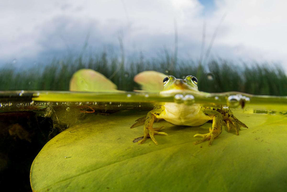 MLU_20130616_183159_70_Copyright Magnus Lundgren _ Wild Wonders_Pool frog (Pelophylax lessonae) of Europe