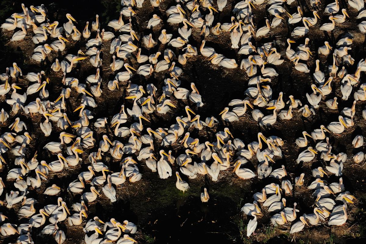 SWD-2012-06-03-121316 cropped B_Copyright Staffan Widstrand _ Rewilding Europe_white pelicans (1)