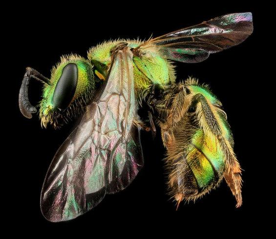 augochlorella-aurata-sam-droege-usgs-bee-inventory
