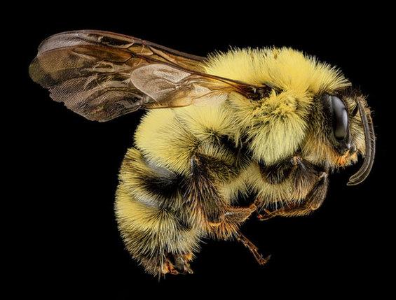 bombus-bimaculatus-sam-droege-usgs-bee-inventory