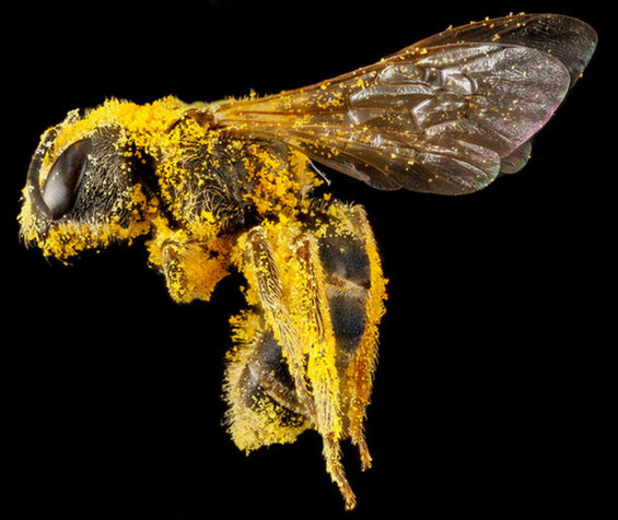 halictus-ligatus-sam-droege-usgs-bee-inventory